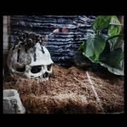 Combo Tarantula ( Nhện đất )