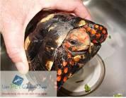 Rùa chân đỏ - Redfood
