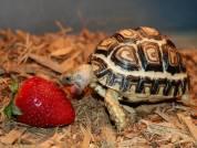 Rùa cảnh Leopard tortoise