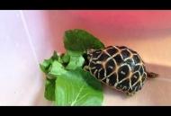 Rùa sao Ấn Độ rùa lá Mata mata rùa cá sấu