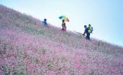 Mùa hoa Tam Giác Mạch ở Si Ma Cai Lào Cai