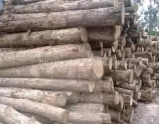 Nguyên liệu gỗ Teak tròn