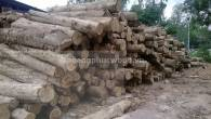 Nguyên liệu gỗ Teak Lào, cung cấp gỗ tròn, gỗ hộp, gỗ xẻ quy cách