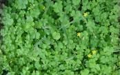 Chua me đất hoa vàng chữa viêm họng