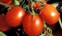 Hướng dẫn trồng cà chu...