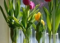 Cách chăm sóc cây Hoa Tulip (uất kim hương) trồng trong nước
