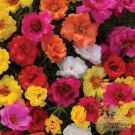 MƯỜI GIỜ MỸ (Happy Hour Tropical Mixture Portulaca)