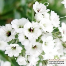 BABY TRẮNG (Gypsophila Filou White)