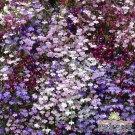 LOBELIA RỦ (Lobelia Fountain Mix)