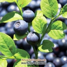 VIỆT QUẤT (Blueberry - Bilberry)