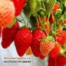 DÂU TÂY NHẬT (Japanese Strawberry)