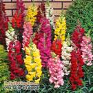 MÕM SÓI 60-70 CM (ANTIRRHINUM MAJUS MAXIMUM)