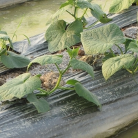 cucumber-farming-season-3
