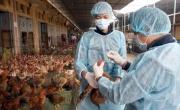 Nhóm 6 nước có nguy cơ bùng phát virus cúm gia cầm H7N9