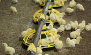 Ba cách để tối ưu hóa chi phí thức ăn trong chăn nuôi gà