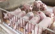 Kháng sinh tăng trọng heo gà nguy hiểm hơn chất tạo nạc