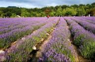 Trang trại hoa oải hươ...
