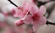 Đặc sắc 7 món ăn chế biến từ hoa anh đào