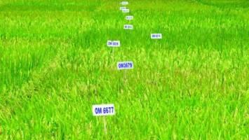 Ứng dụng kỹ thuật điện di Protein SDS-Page trong công tác chọn tạo giống lúa chất lượng cao