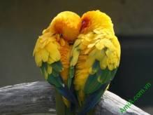 Tranh 1 tấm đôi chim tình yêu Amia 326