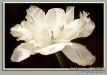 Bức tranh treo tường hoa trắng tinh khôi AmiA 1502