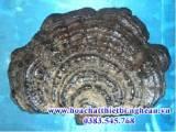 Nấm Linh Chi Ganoderma Lucidum