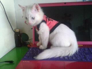 tphcm bán mèo anh lông sù 3 tháng giá 2 triệu(Mã SP: tphcm bán mèo anh l)